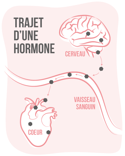 trajet d'une hormone - perturbateurs endocriniens